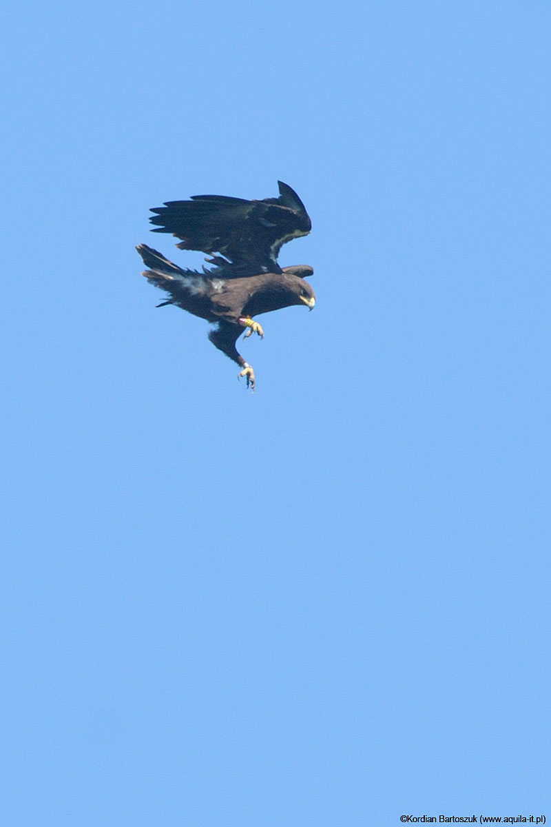 "Our ""cover page"" Greater Spotted Eagle Nil, now without the logger, working hard to feed yet another generation of Biebrza eagles."