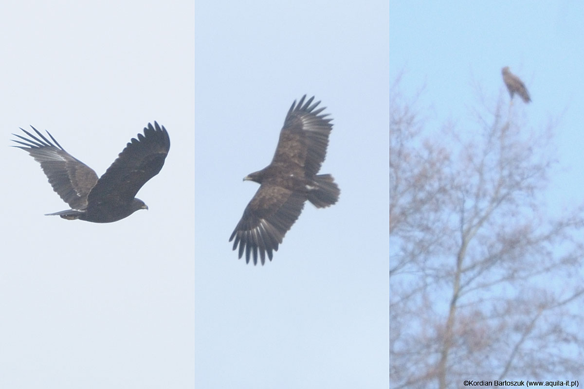 Greater Spotted Eagles on Biebrzą